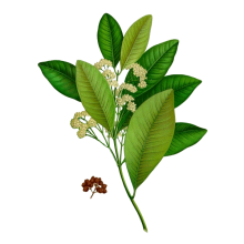 West indian bay tree essential oil