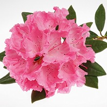 Rhododendron organic