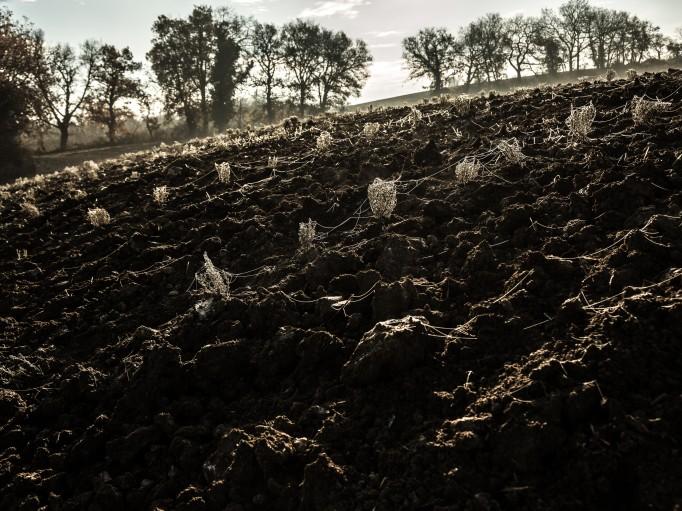 Nos plantations de Lavande officinale en repos végétatif pendant leur premier hiver