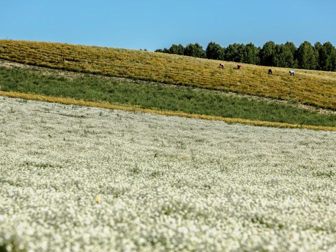 Nos parcelles Bio en fleurs (Camomille Romaine, hélichryse, Origan, Estragon,...)