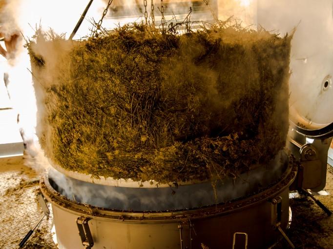 Helichryse italienne après distillation