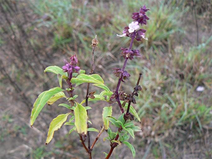 Basilic tropical bio de Madagascar