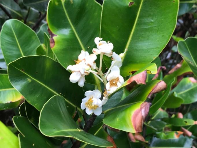 Calophylle en fleur