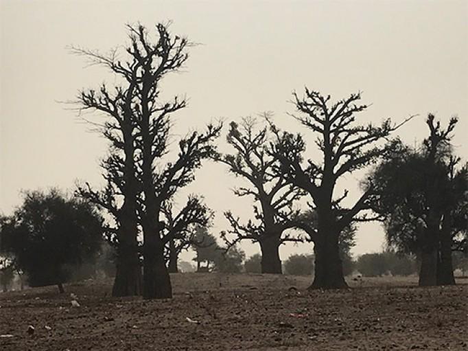 Forêt de Baobab au Sénégal