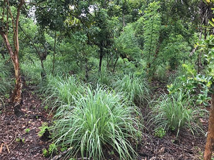 Lemongrass bio de Madagascar