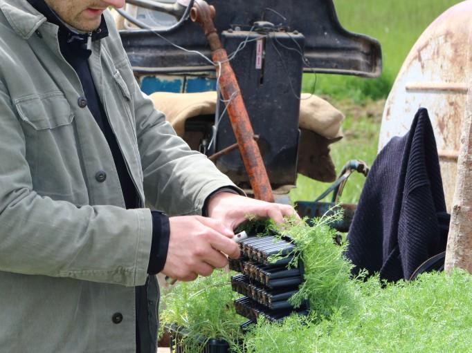 Nos plants Bio de Camomille Romaine