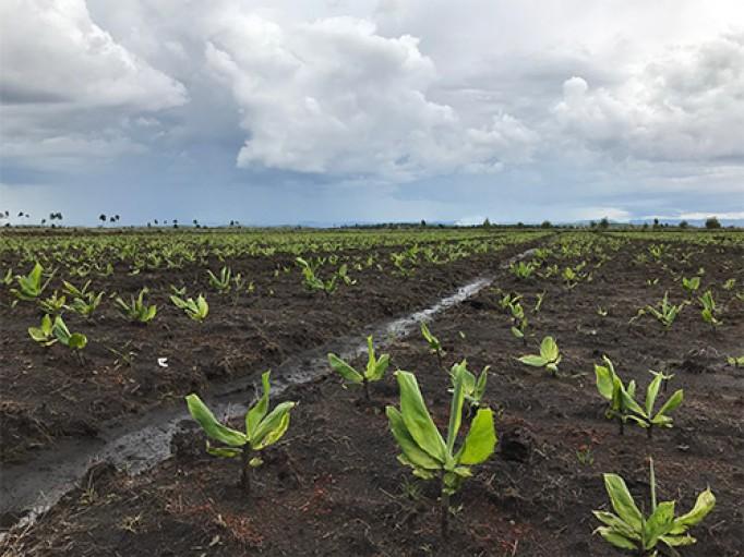 Plantation gingembre bleu bio