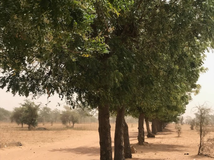 Plantation de neem bio au Sénégal
