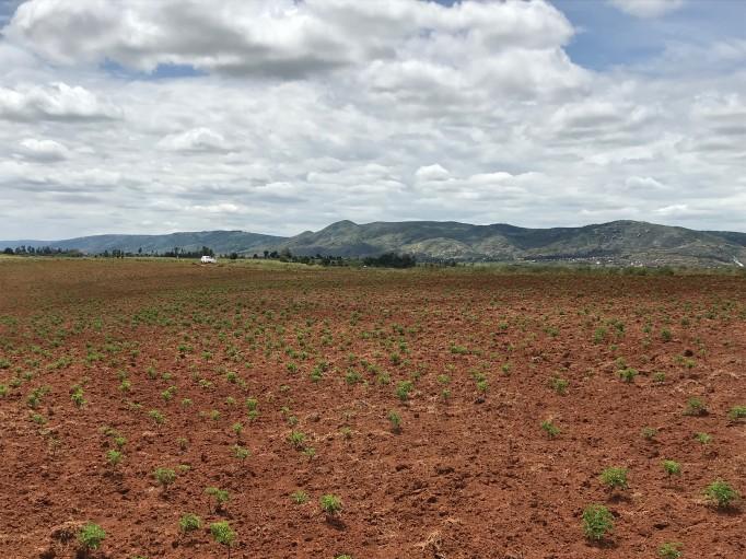 Plantations 2020 de géranium bourbon
