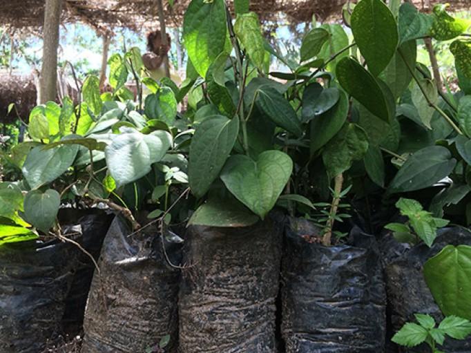 Poivre noir bio de Madagascar