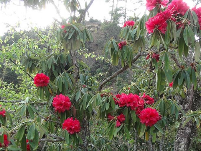 Rhododendron bio du Népal