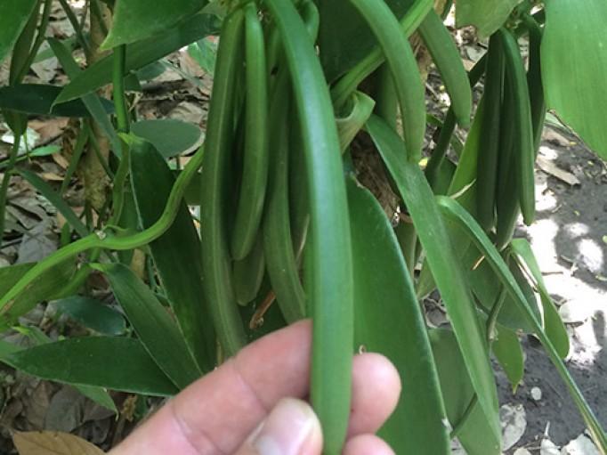 Vanille bio de Madagascar